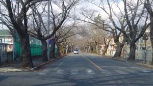 夜ノ森は桜の名所。